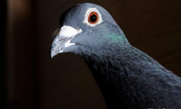 """""""Pigeons voyageurs""""…. bêtes à concours…."""